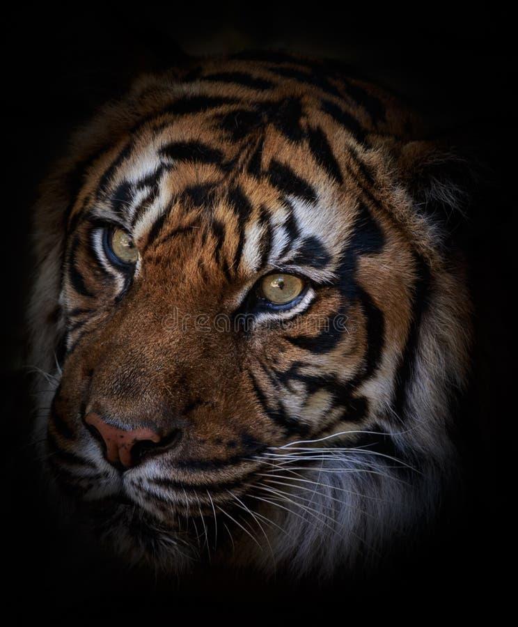 Tiger portrait. Dramatic tiger portrait close up stock image