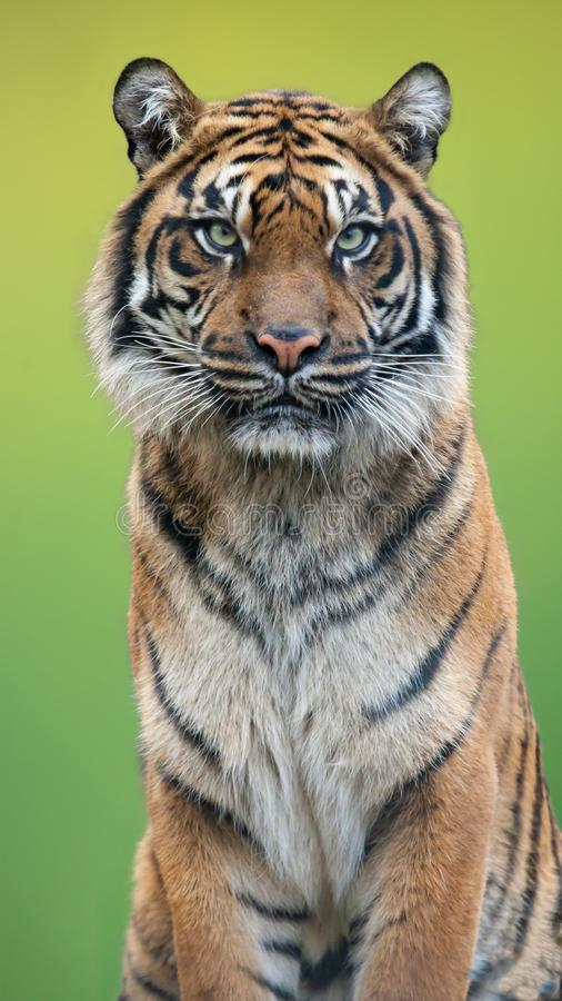 Tiger portrait with a green background. Close up shot of tiger portrait with a green background