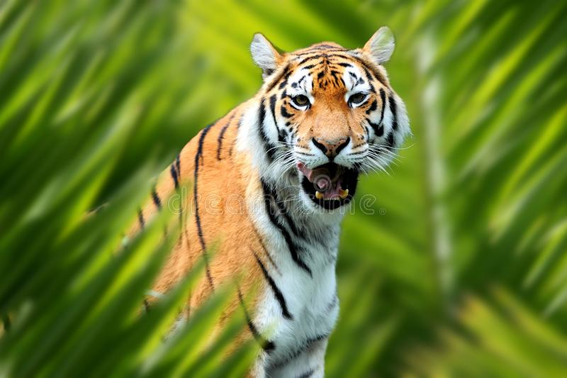 Tiger portrait in jungle. Close up tiger portrait in jungle with leaf royalty free stock image