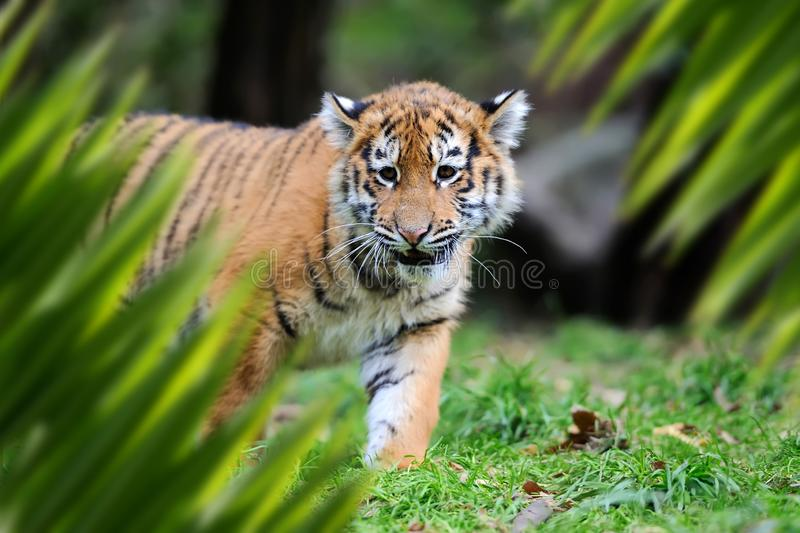 Tiger portrait in jungle. Close up tiger portrait in jungle with leaf royalty free stock images