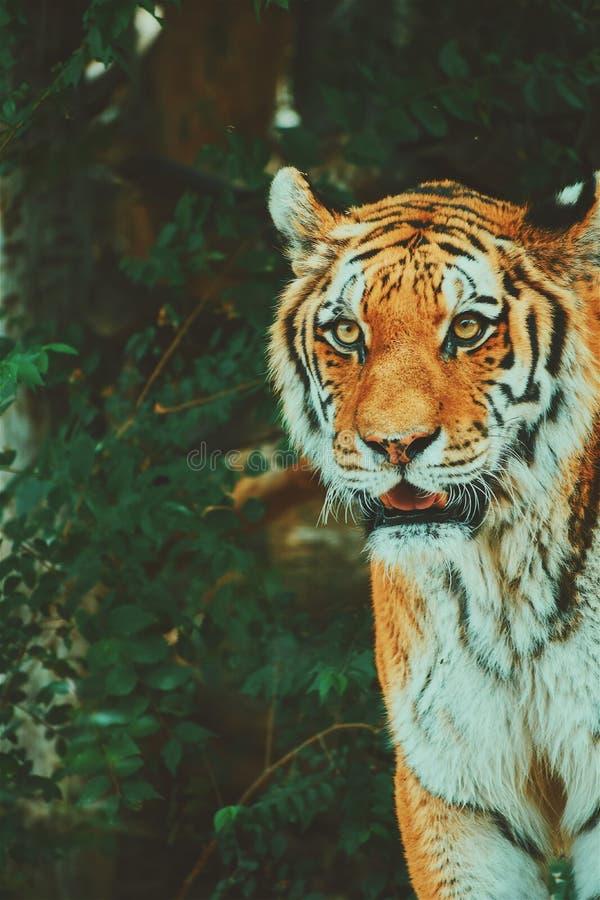 Tiger Portrait. Salt Lake City Zoo royalty free stock photography
