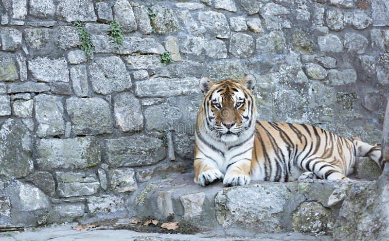 Tiger portrait. Tiger on a stone ramparts stock image