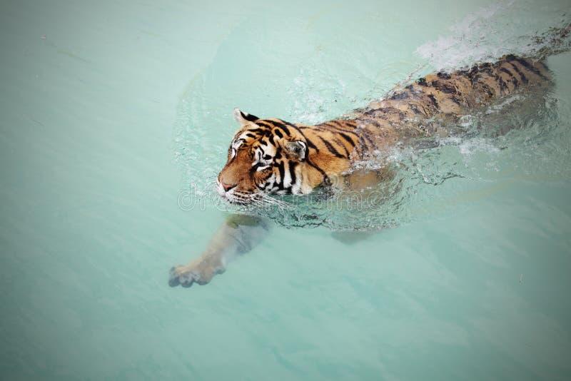 Tiger royalty free stock photo