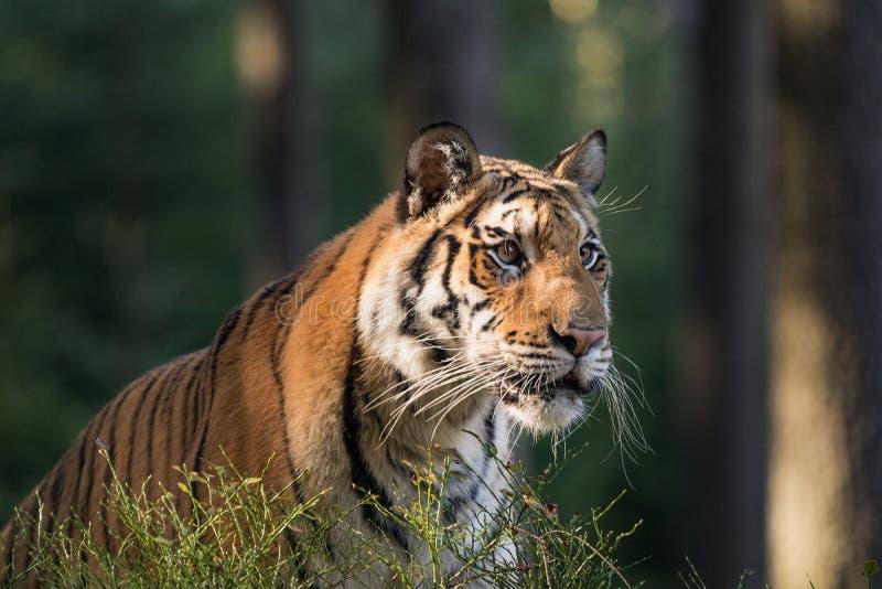 Tiger portrait. Tiger in tajga in summer time. Tiger in wild summer nature. Action wildlife scene, danger animal. Beautiful Siberian tiger in tajga, Russia stock photos