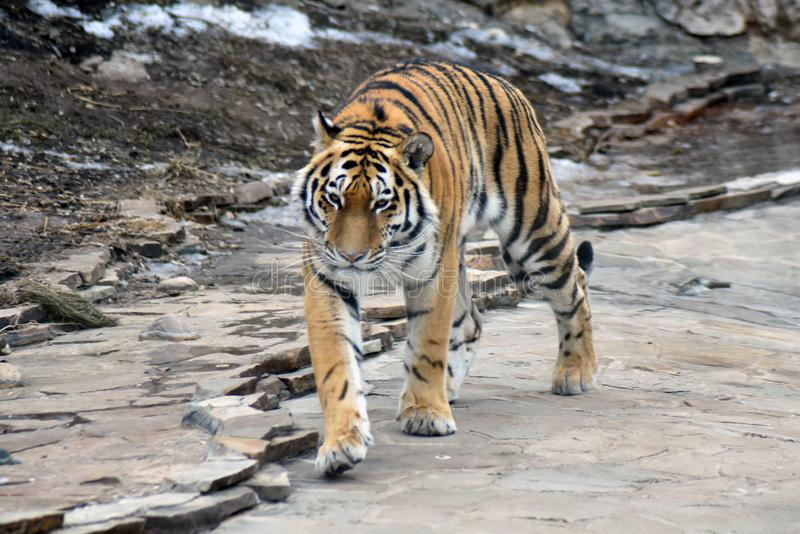 Tiger portrait. It walks on grey stones. stock photography