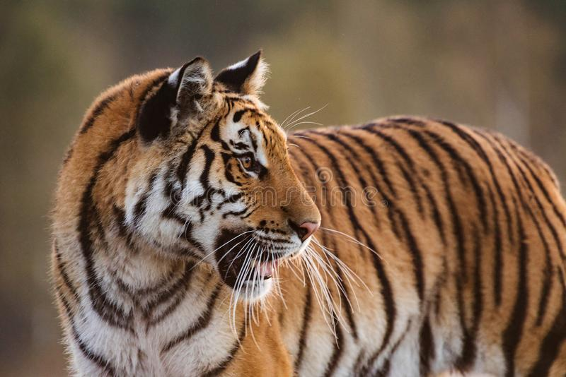Tiger portrait. Hunt the prey in tajga in summer time. Tiger in wild summer nature. Action wildlife scene, danger animal. Tiger portrait. Tiger in wild nature royalty free stock images