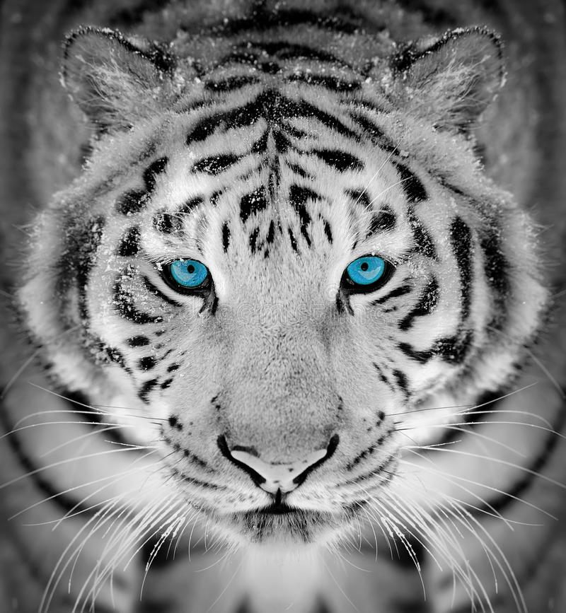 Tiger portrait in winter time with blue eye. Beautiful wild siberian tiger portrait on snow with blue eye stock images