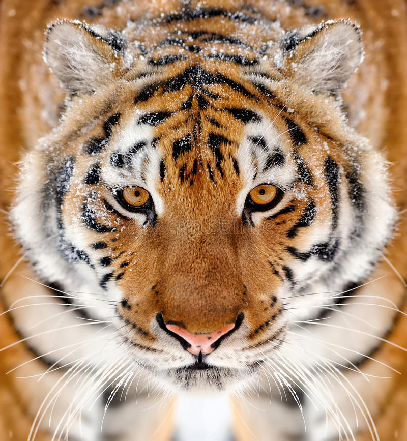 Tiger portrait in winter tine. Beautiful wild siberian tiger portrait on snow stock images