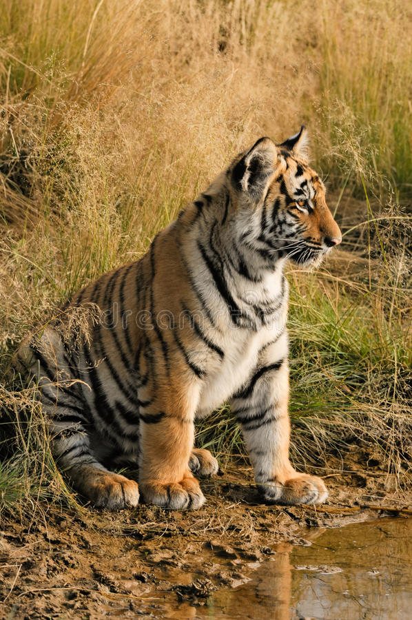 Tiger Portrait. A young tiger by the water royalty free stock photo