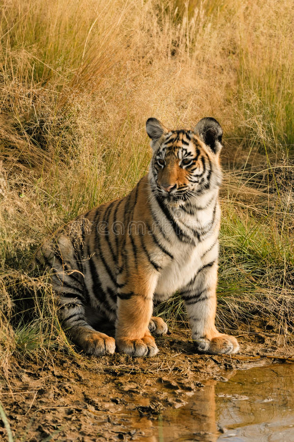 Tiger Portrait. A young tiger by the water royalty free stock image