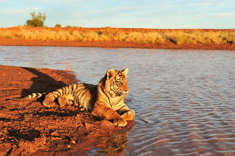 Tiger Portrait. A young tiger by the water stock image