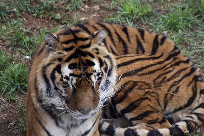 Tiger portrait in the zoo. Having a rest stock images