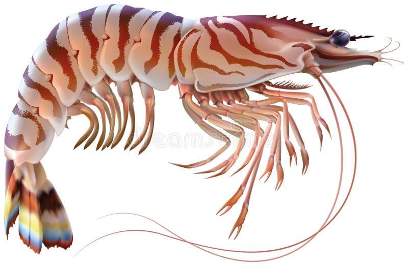 Tiger Prawn stock illustrationer