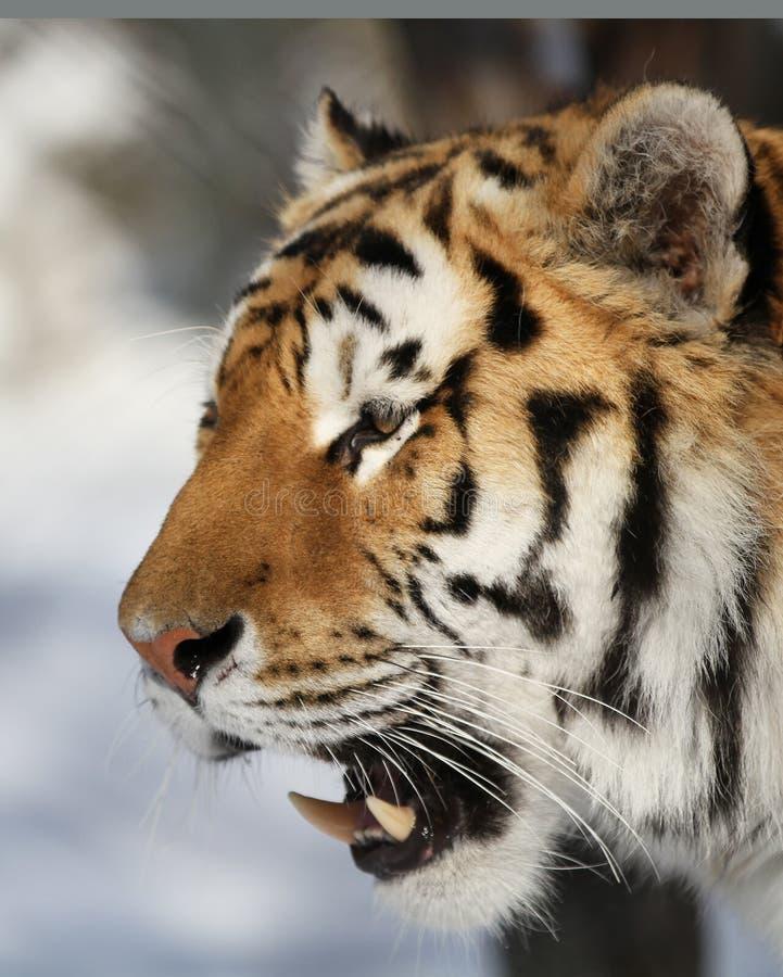 Download Tiger profile stock photo. Image of large, headshot, amur - 18711234