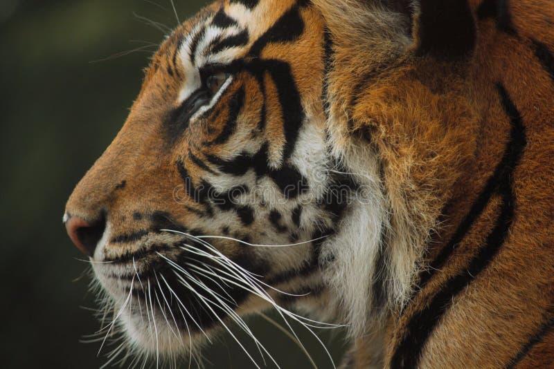 Tiger Profile fotografia de stock
