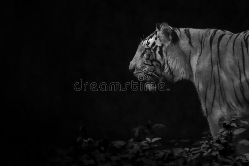 Tiger profile in black and white royalty free stock images