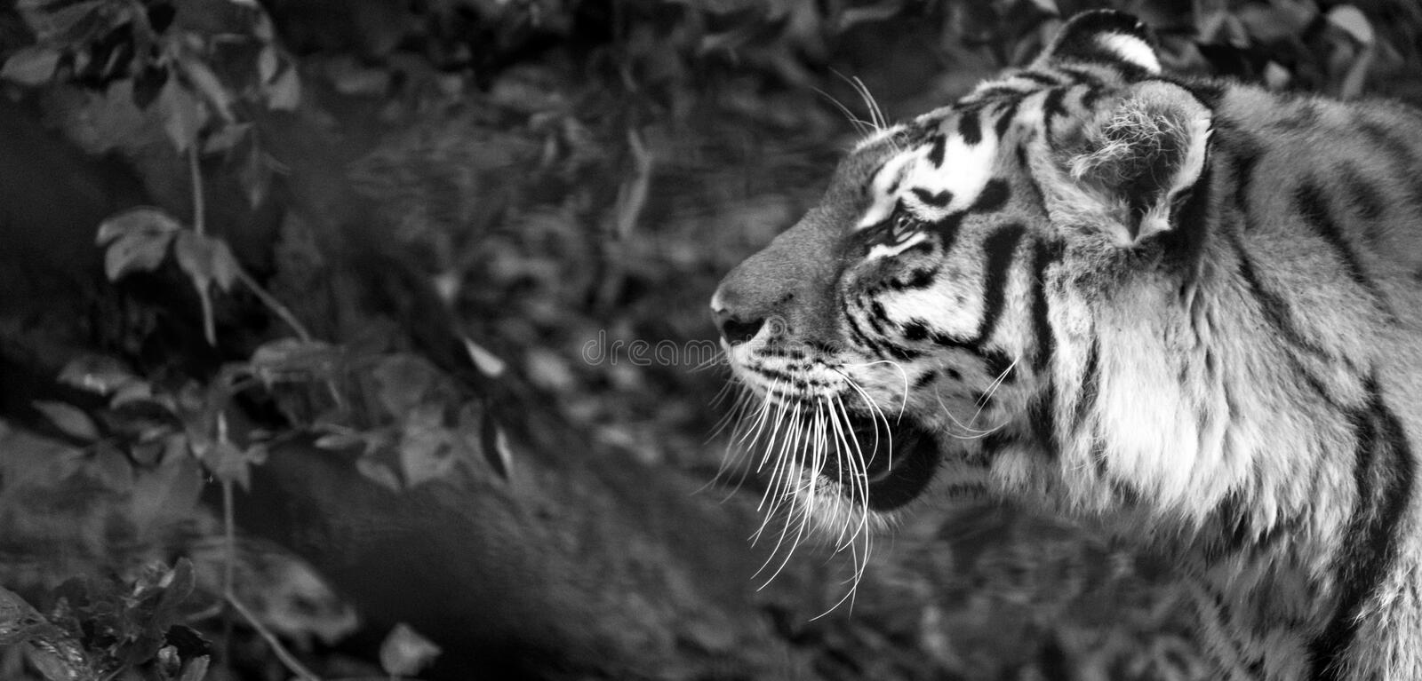 Tiger in profile, photographed in monochrome at Port Lympne Safari Park near Ashford Kent UK. Tiger head in profile, photographed in monochrome at Port Lympne royalty free stock images