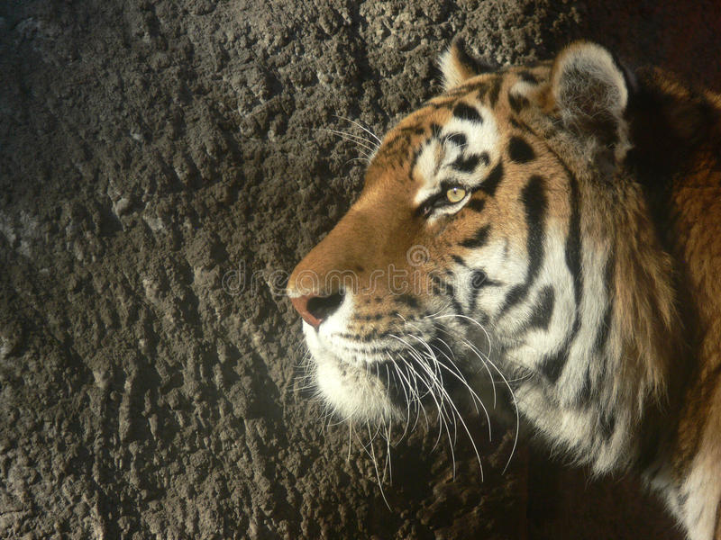 Tiger profile. Tiger watches peacefully - calm power and beauty stock image