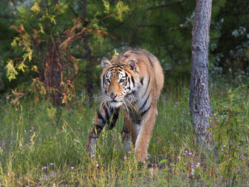 Download Tiger on the Prowl stock image. Image of outdoors, power - 28668887