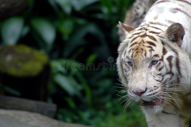 Download Tiger On The Prowl Stock Image - Image: 671181