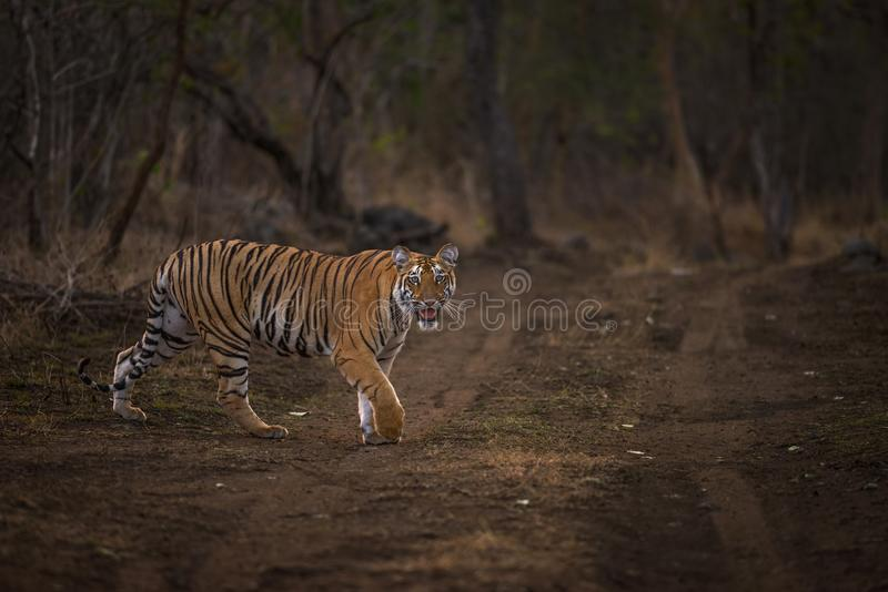 Tiger on prowl stock photo