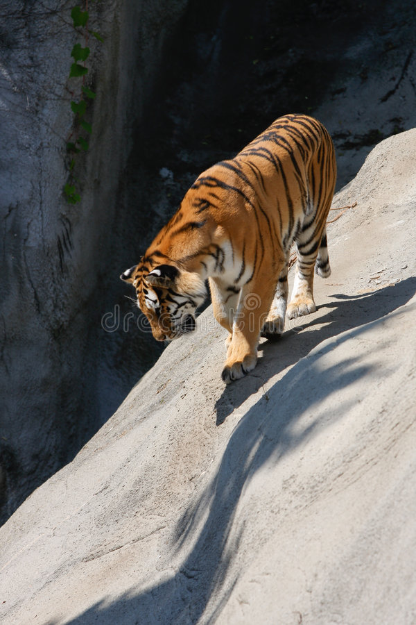 Download Tiger Prowling on Rock stock image. Image of stripe, mammal - 6738043