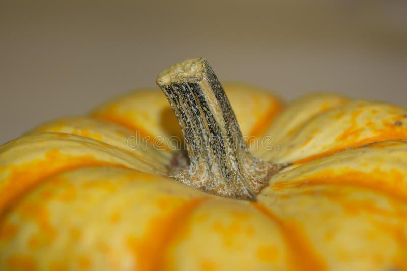 Tiger Pumpkin Stem fotografía de archivo libre de regalías