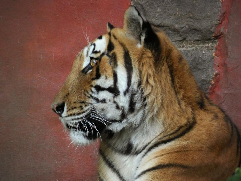 Tiger on red Background. Portrait, eye, orange, closeup, beautiful, animalhead, dangerous, cat, stripes royalty free stock photo