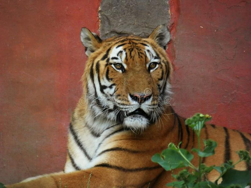 Tiger on red Background. Portrait, orange, colorful, wildlife, stripes, beautiful, dangerous, zoo, closeup, eyes stock photos