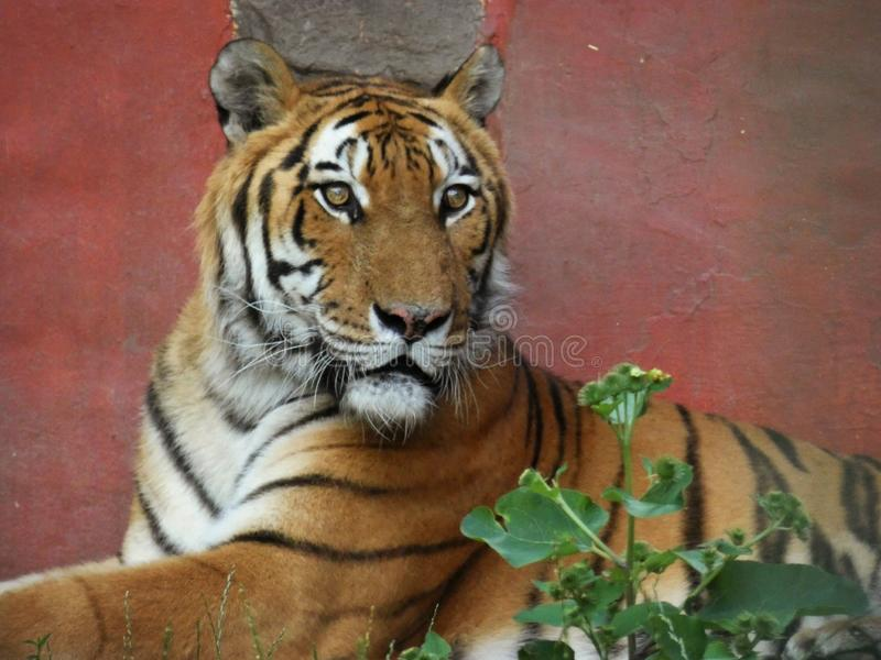 Tiger on red Background. Portrait, stripes, beautiful, zoo, dangerous, orange, animal, eyes, colorful, , cat royalty free stock images