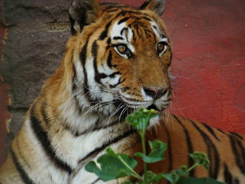 Tiger red Background. Portrait, stripes, colorful, orange, beautiful, dangerous, wildlife, zoo, eyes stock photography