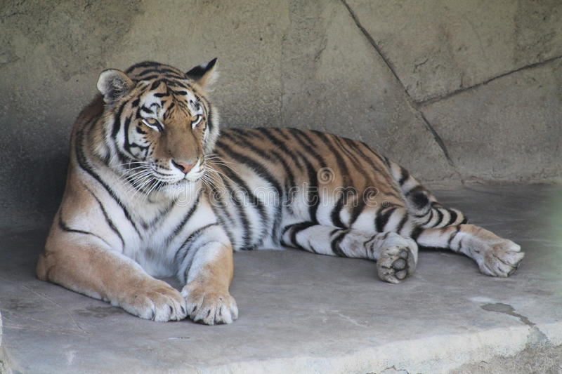 Tiger relaxing in the sun stock image