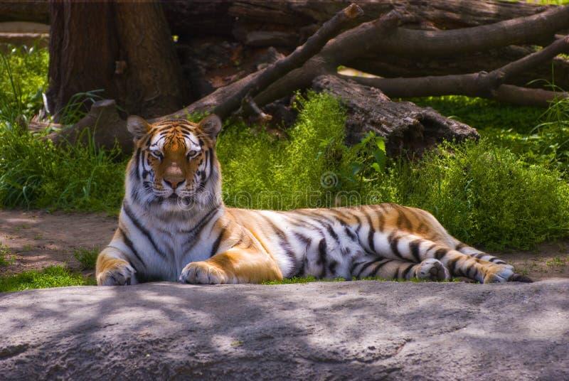 Download Tiger resting stock photo. Image of feline, staring, carnivore - 14859916