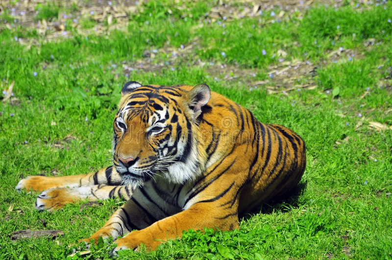 Download Tiger resting stock photo. Image of staring, looking, watching - 8884658