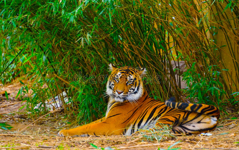 Tiger. A tiger resting by the bamboo