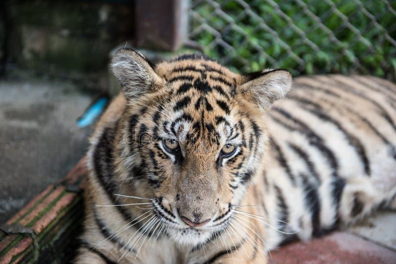 Tiger Resting em sua gaiola imagens de stock royalty free