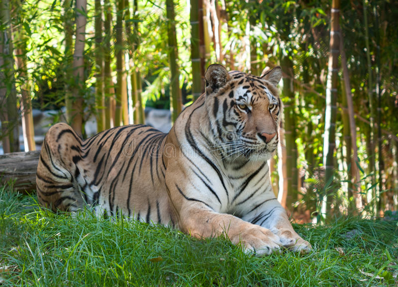 Tiger. Resting in the forest royalty free stock images