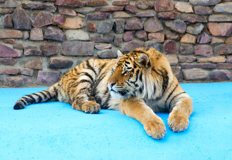 Download Tiger rests stock photo. Image of muzzle, tigris, furry - 18212790