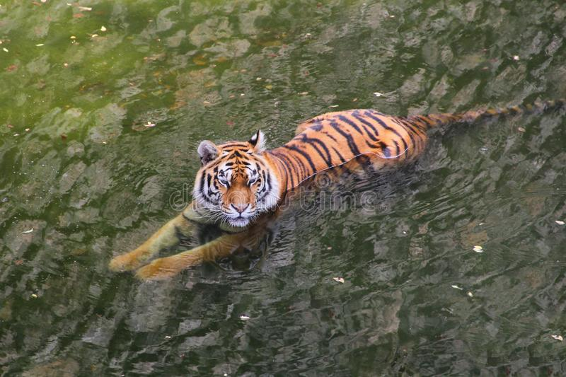 Tiger rests in the summer in the water stock photos