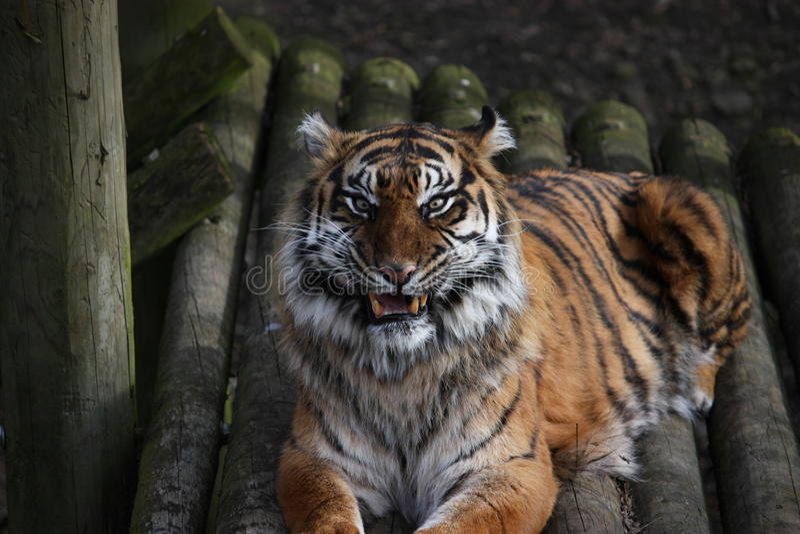 TIGER roar. Sumatran tiger roaring at the camera stock images