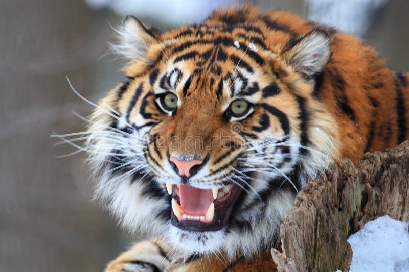 Tiger Roar royalty-vrije stock afbeeldingen