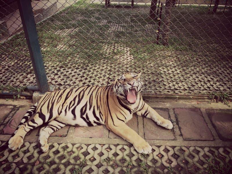 Tiger Roar Animal stock image
