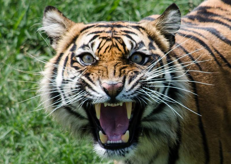 Tiger roaring green backround whiskers snarling. Sumatran tiger roar roaring snarling snarl stripes orange green grass looking into camera stock images