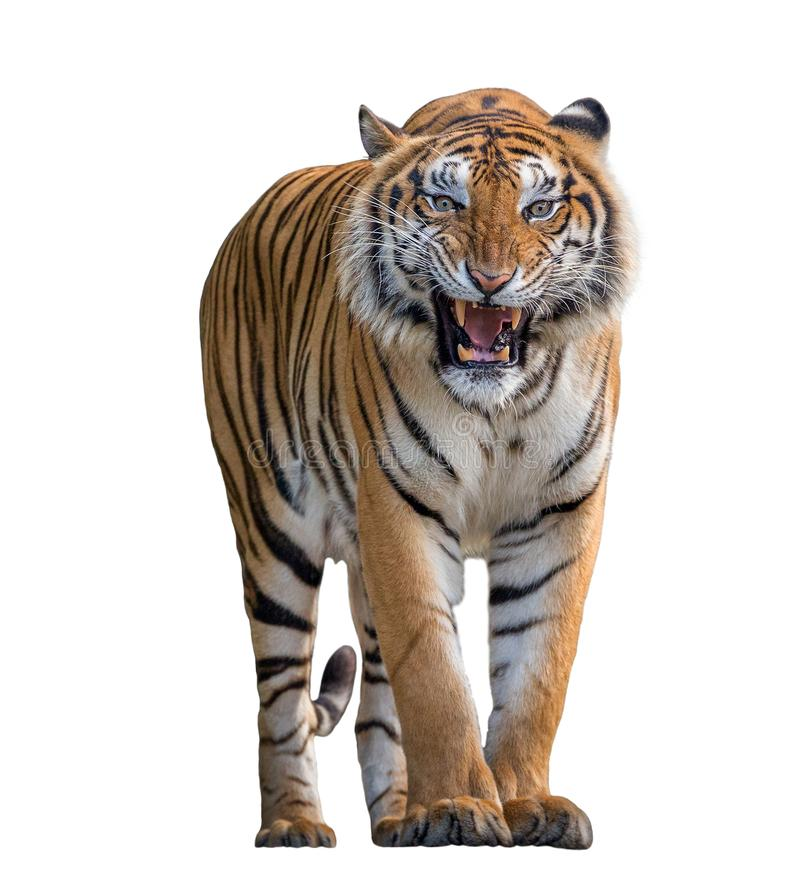 Tiger Roaring isolerade på vit bakgrund royaltyfria foton