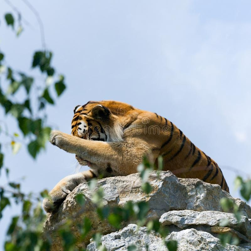 Download Tiger on the rock stock photo. Image of carnivore, animals - 17707470