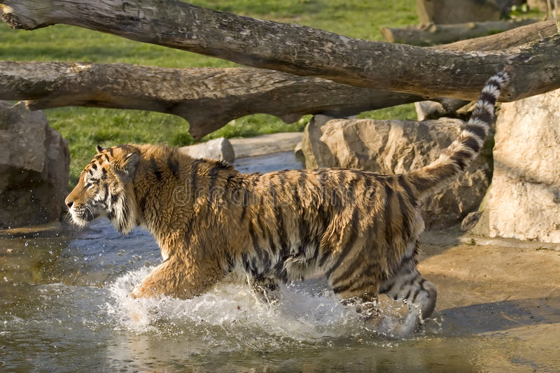 Tiger Running Royalty Free Stock Images