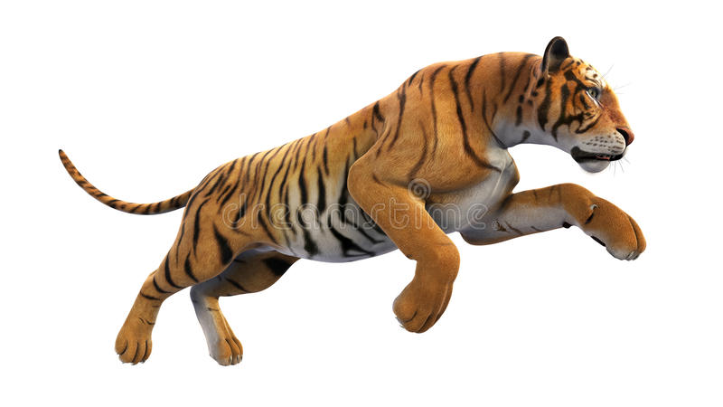 Tiger running, wild animal on white background. Tiger running, wild animal isolated on white background, close up view stock image
