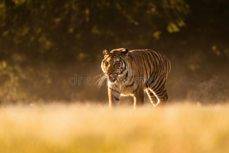 Tiger runs behind the prey. Hunt the prey in tajga in summer time. Tiger in wild summer nature. Action wildlife scene, danger anim royalty free stock photos