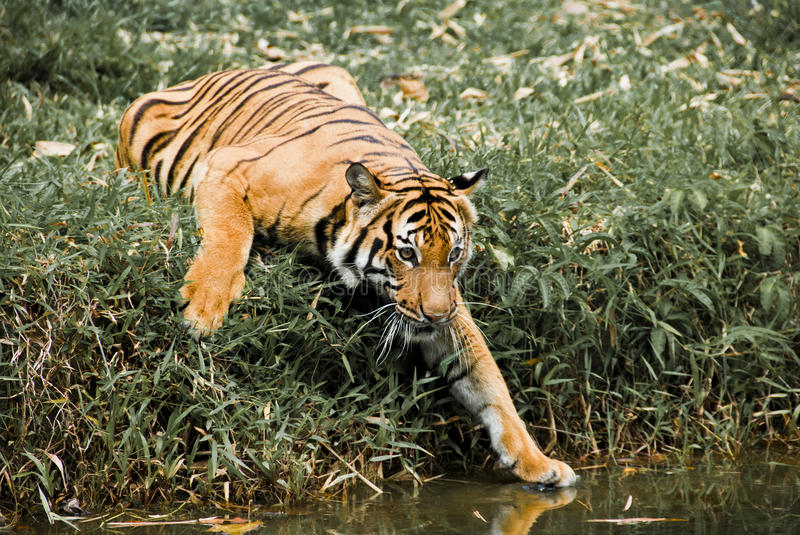 Tiger's Curiosity. The tiger is trying to reach the water with curiosity stock photography