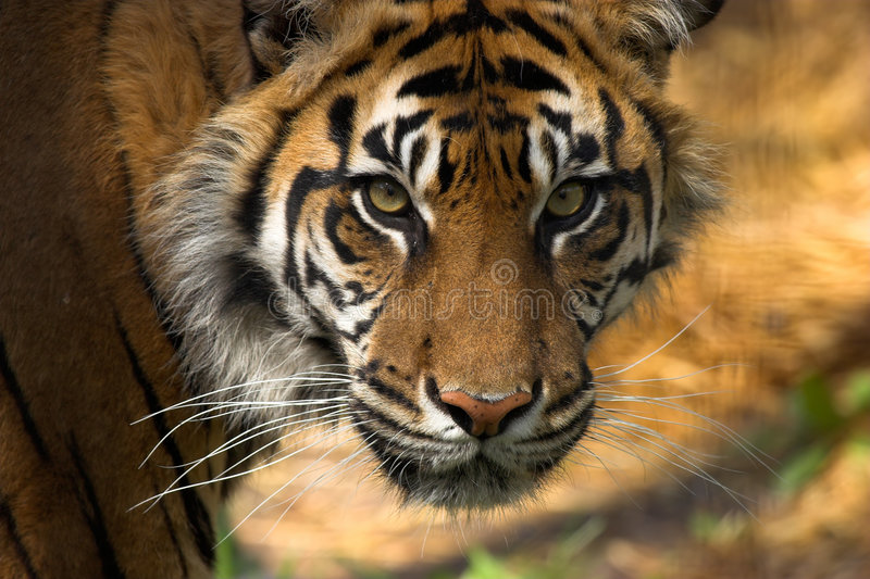 Tiger's face royalty free stock photo